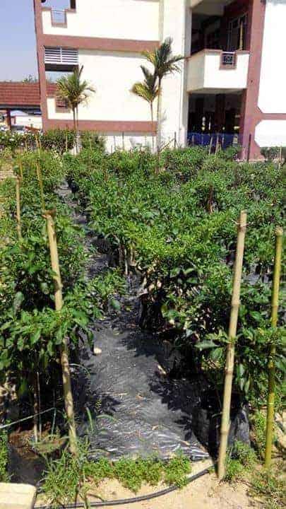 Pokok Cilibangi di Kampung Tandop Besar